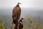 Hooded vultures, Mara Naboisho, Kenya