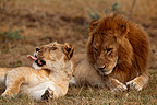 Lion couple resting between mating, Mara Naboisho, Kenya