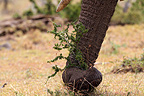 Elephant's trunk pulling up small tree, Mara Naboisho, Kenya