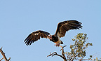 White-headed vulture, Mara Naboisho, Kenya