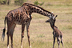 Giraffe with newborn baby, Masai Mara, Kenya, February,