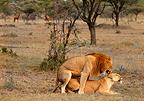Lion couple mating, Mara Naboisho, Kenya