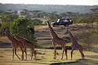 Giraffes and safari jeep, Mara Naboisho, Kenya,