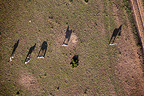 Zebras casting shadows photographed from hot air balloon, Masai Mara, Kenya