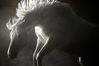 White horse backlit in riding hall, Minnesota, USA