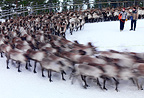 Domestic reindeer herd running, Sami, Trondelag, Norway