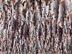 Pollack being dried with heads as stockfish, Lofoten, Norway