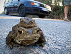 Toads mating on road, Norway, April