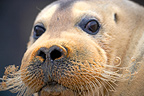 Portrait bearded seal, Svalbard