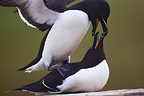 Auks Mating, Horn�ya nat. Reserve, Northern Norway, June,