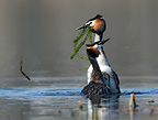 Great crested grebes courtship, Oslo, Norway