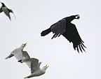 Raven with robbed egg, followed by black-legged kittiwakes, Hornøya, Finnmark, Norway