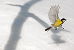 Great tit flying up over snow, and shadow from tree, March, Norway
