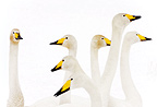 Group of whooper swans,
