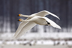 Whooper swans in flight, in snow, March, Tysslingen, Sweden