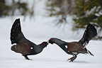 Two male Capercaiilie leks fighting, May, Trondelag, Norway