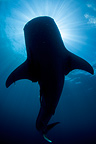 Whale shark silhouette, Cenderawasih Bay, New Guinea , Indonesia