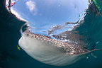 Whale shark swimming at the surface, Cenderawasih Bay, New Guinea , Indonesia