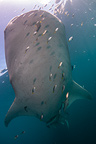 Underside of Whale shark, Cenderawasih Bay, New Guinea , Indonesia