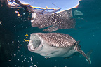 Whale shark with bagan (local fishing boat with platform and nets) visible above, Cenderawasih Bay, New Guinea, Indonesia