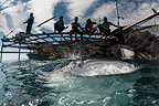 Local fishermen on a bagan (fishing boat with platform and nets) with whale shark, Cenderawasih Bay, New Guinea , Indonesia