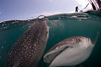 Whale sharks with bagan (local fishing boat with platform and nets) visible above, Cenderawasih Bay, New Guinea, Indonesia
