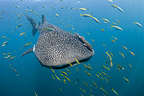 Whale shark, Cenderawasih Bay, New Guinea , Indonesia