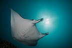 Manta Ray, French Polynesia