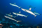 School of grey reef sharks, Fakarava, French Polynesia