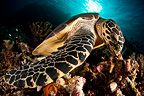 Hawksbill sea turtle feeding, Komodo, Indonesia
