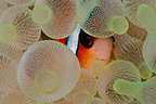 Clown fish hiding in sea anemone, Komodo, Indonesia