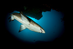 Sand tiger shark (grey nurse shark, ragged-tooth shark), Aliwal Shoal, South Africa