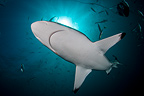 Oceanic Blacktip Sharks, Aliwal Shoal, South Africa