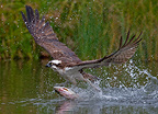 Osprey fishing for salmon trout, Finland