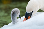 Mute swan parent with cygnet on back, Kew Pond, London.