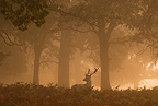 Fallow deer stag, Richmond Park, London.