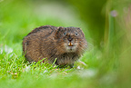 Water vole showing teeth, Cromford Canal, Derbyshire.
