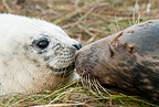 Grey seal touching noses with pup, Donna Nook, Lincolnshire.