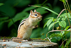 Eastern chipmunk standing on tree stump, Algonquin Park, Ontario, Canada.