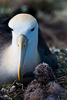 Waved albatross with chick, Espanola Island, Galapagos Islands.