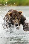 Brown (Grizzly) Bear chasing salmon in river in Geographic Harbor, Katmai National Park, Alaska, USA