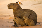 Capybara, the world's largest rodent, adult with young on bank of river, Pantanal, Brazil, South America