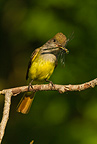 Great Crested Flycatcher eating dragonfly, Central PA, USA., Central PA, USA