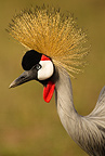 Grey Crowned Crane portrait, Mara Triangle, Masai Mara Game Reserve, Kenya, Africa