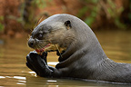 Giant River Otter eating fish, Pantanal, Brazil, South America