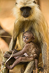 Hanuman (gray) Langur mother with baby, Pench National Park, Madhya Pradesh, India