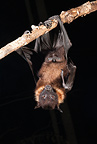 Giant Fruit Bat from India. Shot in Captive situation in typical roosting/grooming pose while hanging upside down from a limb
