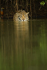 Jaguar along riverbank, Matto Grosso, Pantanal, Brazil, South America