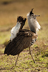 Kori Bustard strutting during a courtship dance. Masai Mara GR, Kenya.