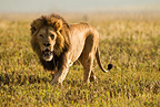 Male lion hunting in Ngorongoro Crater, Serengeti National Park, Tanzania